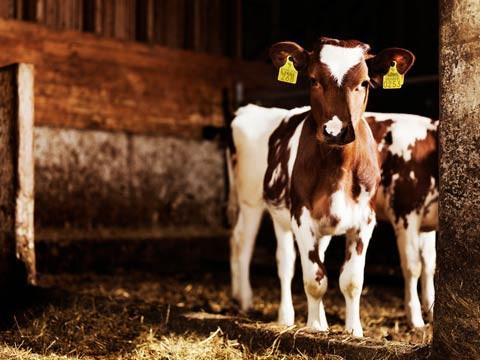 Молоко счастливых коров