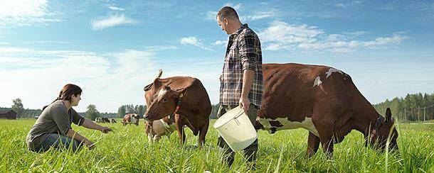 Выпас счастливых коров