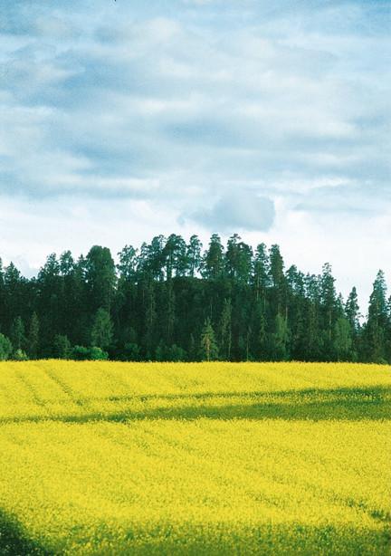 Рапсовое поле в Финляндии
